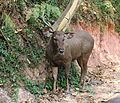 Sambar deer in the Nilgiris.jpg