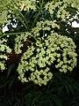 Sambucus nigra, elder, elderberry, black elder, European elder. 2.jpg