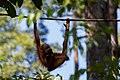 Sandakan Sabah Sepilok-Orangutan-Rehabilitation-Centre-09.jpg