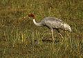 Sarus Crane - Barhatpur - India86 0003 (15550354072).jpg