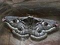 Saturnia pavonia ♀ - Emperor moth (female) - Малый ночной павлиний глаз (самка) (41234179621).jpg