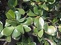 Saxifragales - Crassula ovata 1.jpg