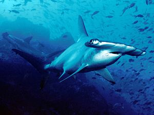 Scalloped hammerhead - Image: Scalloped hammerhead cocos