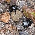 Scarabaeidae (28546448092).jpg