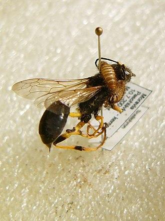 Pest (organism) - Carpet beetle larvae damaging a specimen of Sceliphron destillatorius in an entomological collection