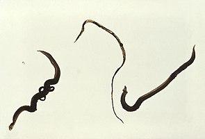 Schistosoma mansonirechts das Männchen, in der Mitte das Weibchen, links ein Paar