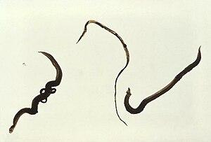 Formas adultas do Schistosoma mansoni. À esquerda par de macho e fêmea; ao meio fêmea; à direita macho