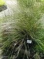 Schoenus nigricans- Botanical Garden, University of Frankfurt - DSC02702.JPG