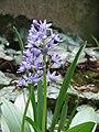 Scilla lilio-hyacinthus01.jpg