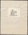 Sciurus hudsonius - 1700-1880 - Print - Iconographia Zoologica - Special Collections University of Amsterdam - UBA01 IZ20400051.tif