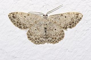 <i>Scopula marginepunctata</i> Species of geometer moth in subfamily Sterrhinae