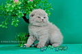 Scottish fold- straight 16.JPG