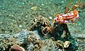 Sea Slug (Hypselodoris kaname) on Sponge (Dysidea sp.) (8461720044).jpg