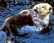 A sea otter.