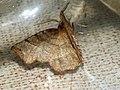 Selenia dentaria - Early thorn - Лунчатая пяденица зубчатая (40935698621).jpg