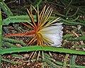 Selenicereus pteranthus 05.jpg