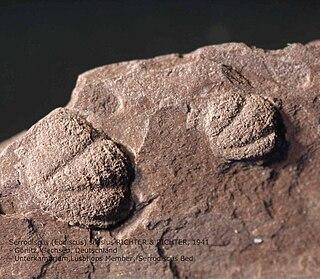 <i>Serrodiscus</i>