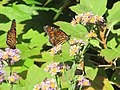 Several Butterflies in a Bush, NYBG.jpg