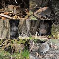 Several mouses (veldmuisjes) at Warnsborn pond territorium - panoramio.jpg