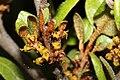 Shepherdia canadensis 5457.JPG