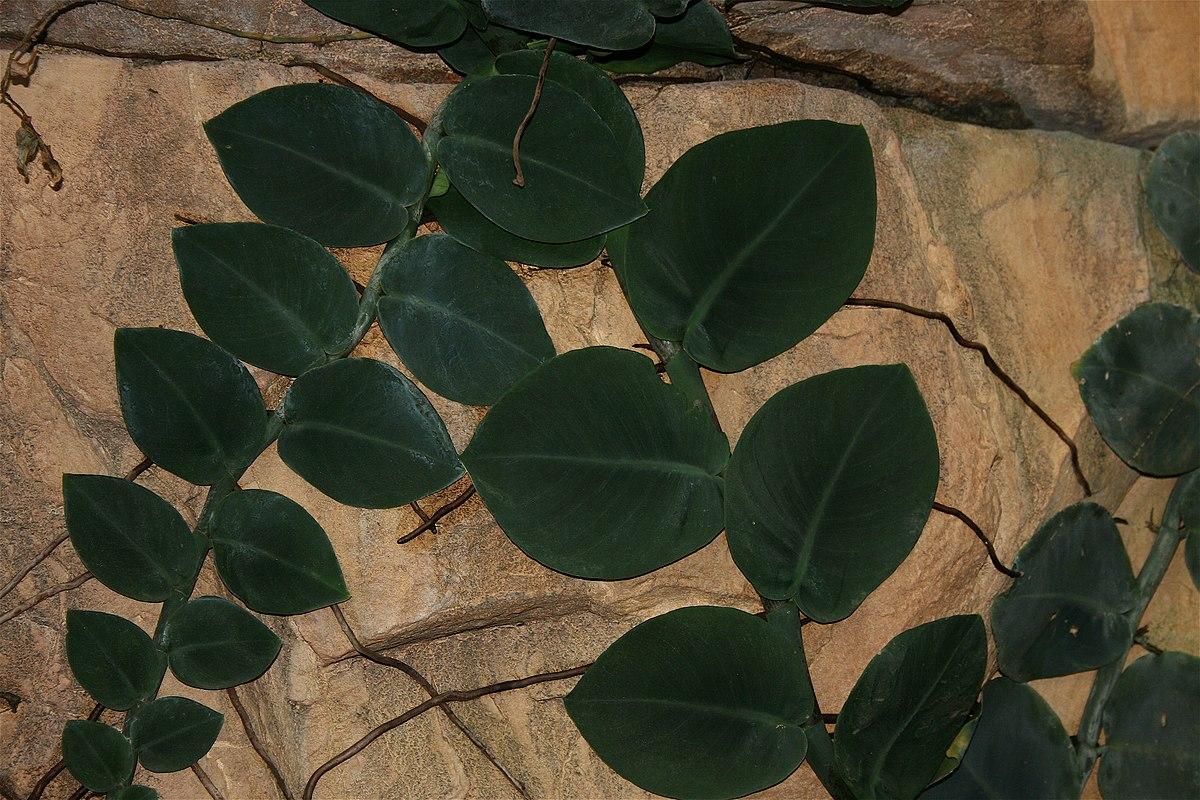 Rhaphidophora Wikipedia
