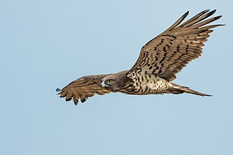Short-toed Snake Eagle-7518.jpg