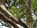 Shweta Beete (Coorgi- ಶ್ವೇತ ಬೀಟೆ) (2427074475).jpg
