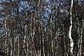 Silver Birch trees, Holme Fen - geograph.org.uk - 864900.jpg