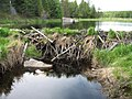 Sioux–Hustler Trail beaver dam.jpg