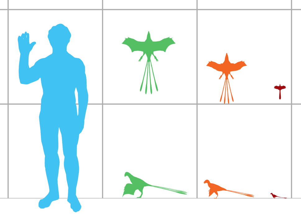 Size comparison of scansoriopterygid dinosaurs