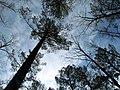 Sky Trees, Jordan Lake SP NC 1473 (5487254520).jpg