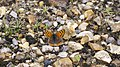 Small Copper - record shot (9982072975).jpg