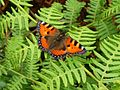 Small totoishell. Aglais urticae - Flickr - gailhampshire.jpg
