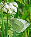 Small white (Pieris rapae) on nettle - geograph.org.uk - 416814.jpg