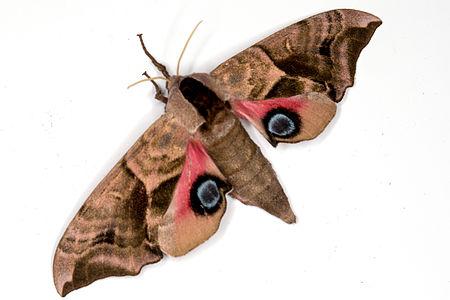 Smerinthus ocellatus, Lodz(Poland)03(js).jpg