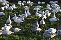 Snow geese - Fir Island - 05 (cropped).jpg