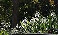 Snowdrops at Hammerslake - geograph.org.uk - 1763327.jpg
