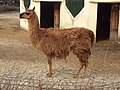 Sofia Zoo - Llama 005.jpg
