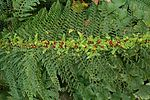 Soft Shield Fern.jpg