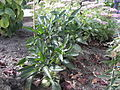 Solanum muricatum R.H. (4).jpg