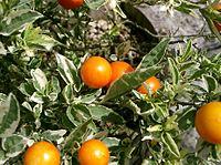 Solanum pseudocapsicum2.jpg