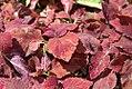 Solenostemon scutellarioides Burgundy Sun 0zz.jpg