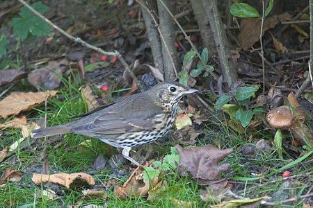Song Thrush Lodz(Poland)(js)03.jpg