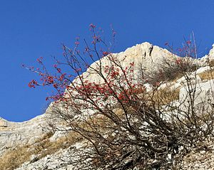 Sorbus aucuparia - Mountain-ashes, e.g. this one in the Vercors range, hold their fruit late in fall