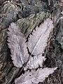 Sorbus aucuparia sl10.jpg