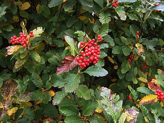 Sorbus mougeotii - Leaves and fruit