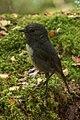 South Island Robin - New Zealand (39287199211).jpg