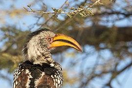 Southern Yellow-Billed Hornbill Beak 2019-07-25.jpg