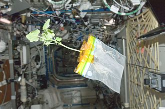Astrobotany - A zucchini being grown on the International Space Station