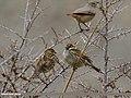 Spanish Sparrow (Passer hispaniolensis) (32118855863).jpg
